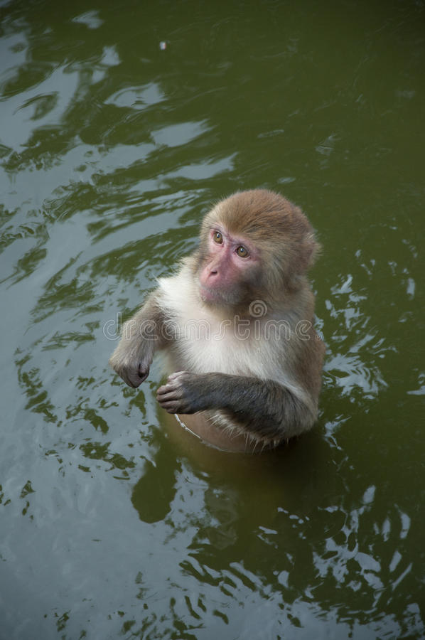 Monkey in the water. Chimelong safari park,guangzhou china royalty free stock photos