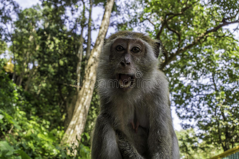 Monkey with white teeth in the jungle stock photos
