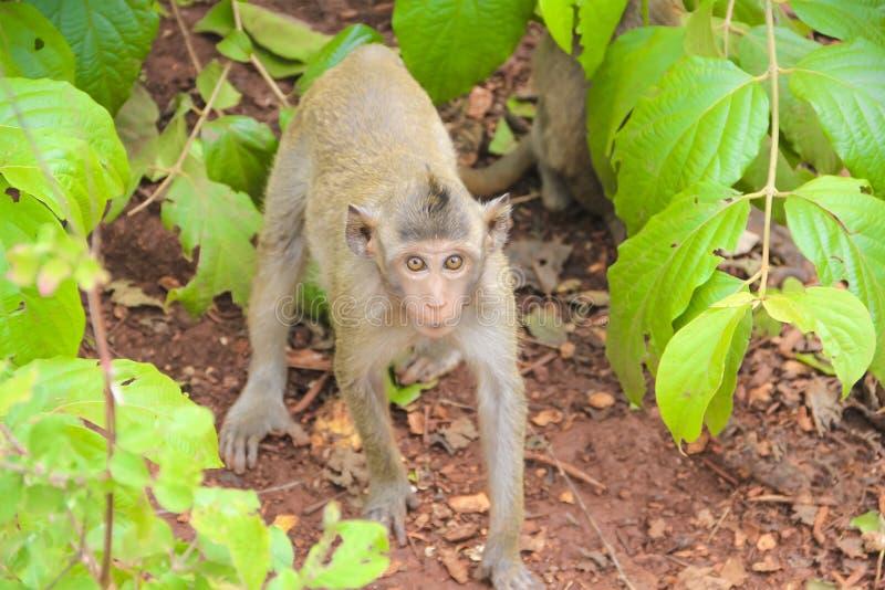Monkey wildlife tree leaves royalty free stock photos