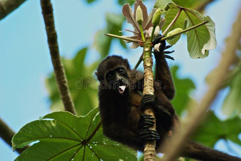 Monkey in costa rica jungle stock photo