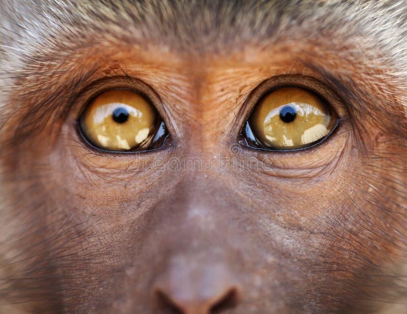 Monkey yellow eyes close up - Macaca fascicularis stock photo