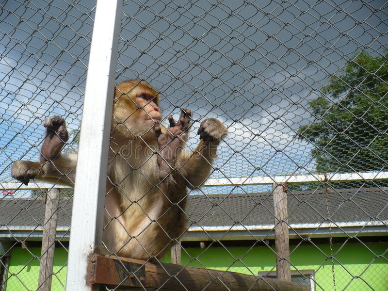 Monkey in ZOO royalty free stock photo
