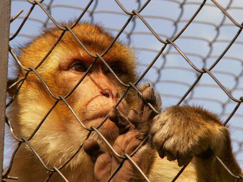 Monkey in ZOO royalty free stock photos