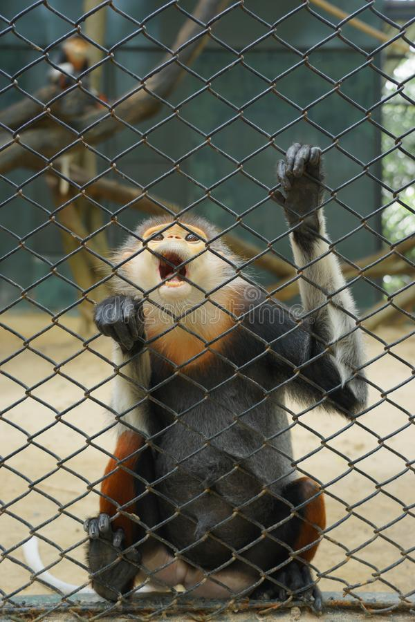 A monkey in the zoo cage royalty free stock photo