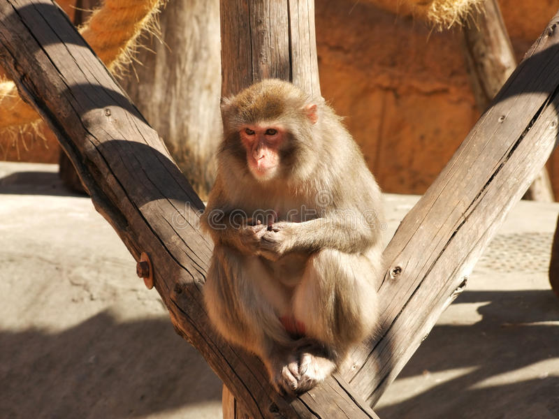 Monkey in the zoo royalty free stock photos