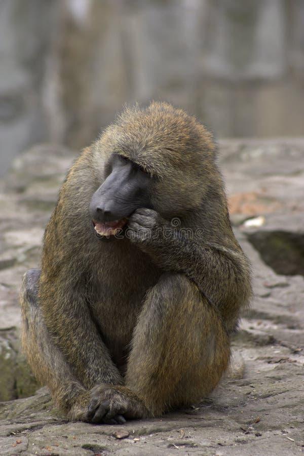 Monkey1 fotografia stock