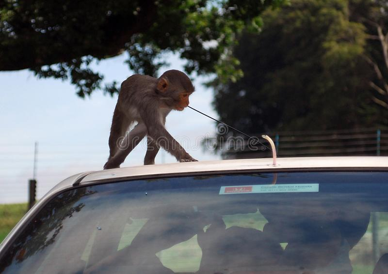 Monkeying with the Aerial. Warminster, United Kingdom - September 08 2007: A baby Rhesus Macaque tries to setal a car aerial in a drive thru safari park royalty free stock photos