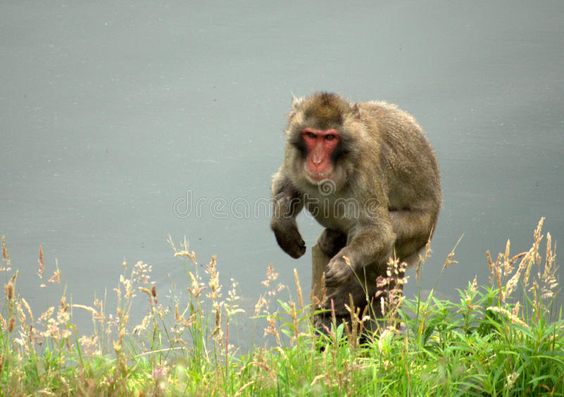 Monkeying ao redor fotos de stock royalty free