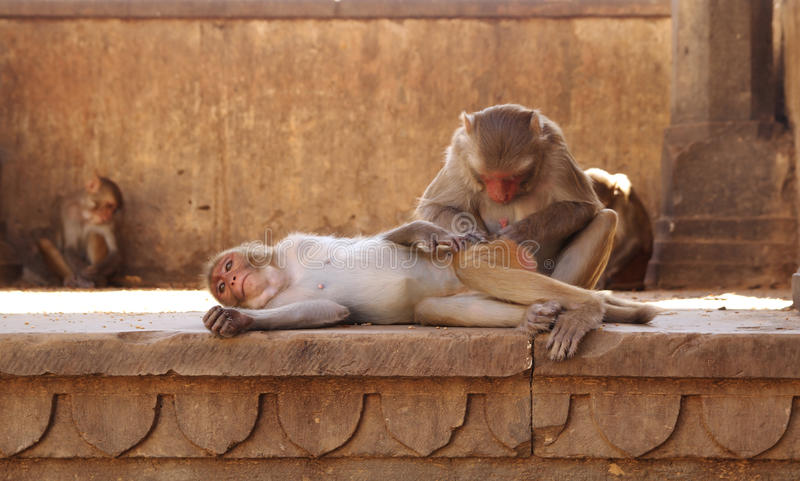 Download Monkeys stock photo. Image of help, protect, india, primate - 27850026