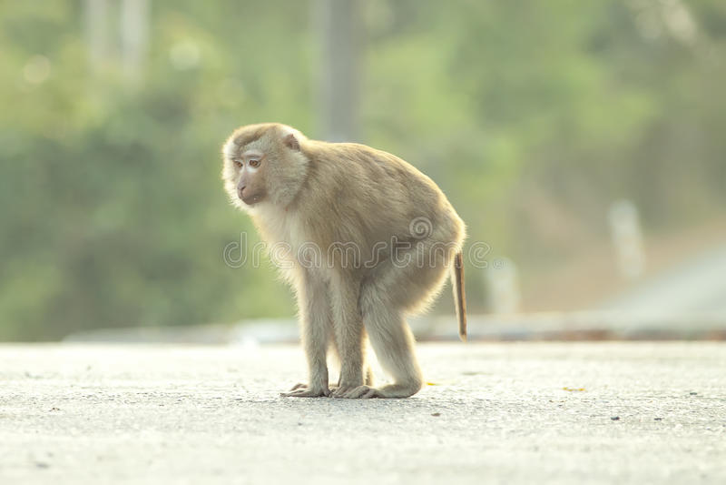 Monkeys bonito imagens de stock royalty free