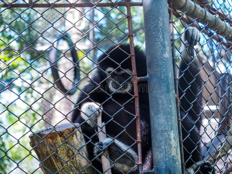 The monkeys in a cage. Zoo is a hell for animals.  royalty free stock photo