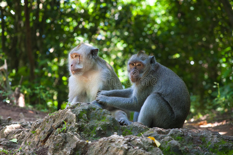 Monkeys care for each other stock photos