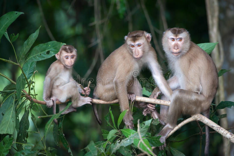Monkeys checking for fleas and ticks on concrete fence in the pa. Rk stock images