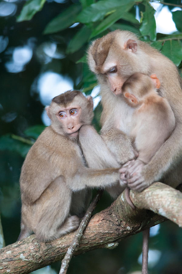 Monkeys checking for fleas and ticks on concrete fence in the pa. Rk royalty free stock image