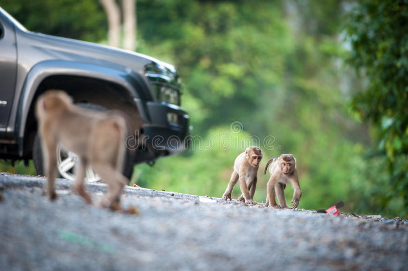 Monkeys checking for fleas and ticks on concrete fence in the pa. Rk royalty free stock photos