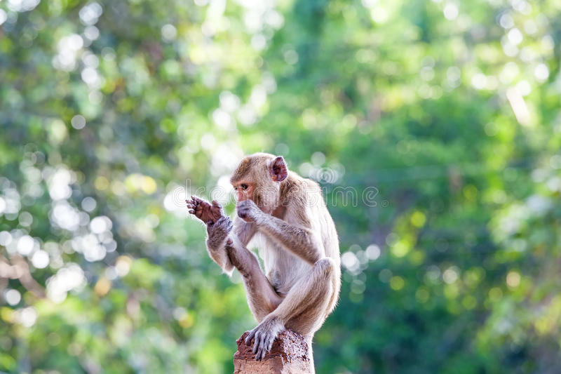 Monkeys checking for fleas and ticks on concrete fence in the pa. Rk on natural light royalty free stock photo