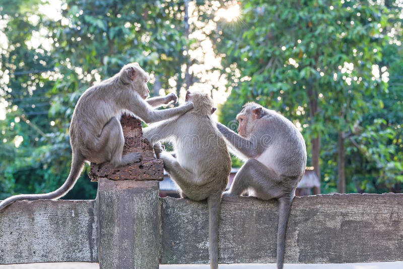 Monkeys checking for fleas and ticks on concrete fence in the pa. Rk on natural light stock photo