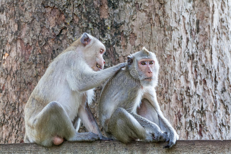 Monkeys checking for fleas and ticks on concrete fence in the pa. Rk on natural light stock images