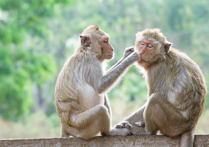 Monkeys checking for fleas and ticks. In the park stock photography