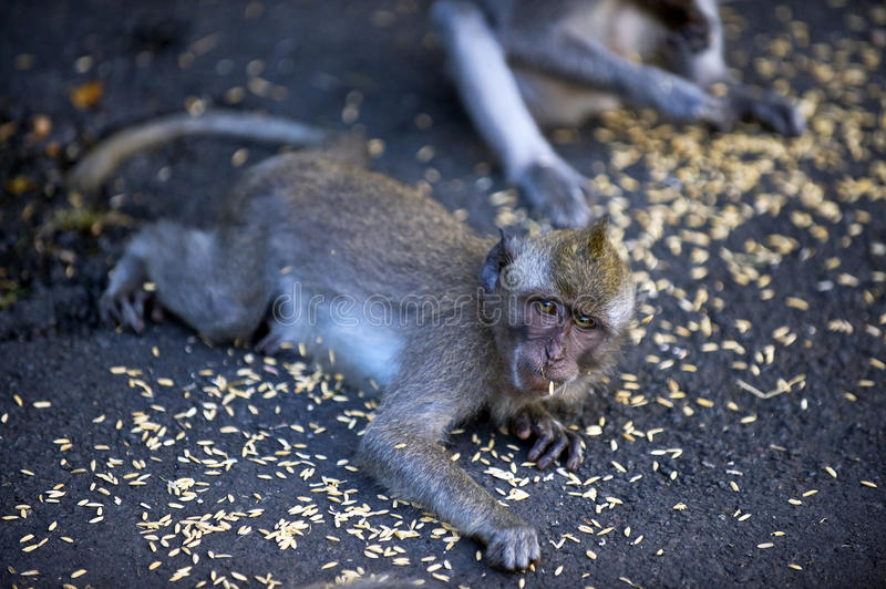 Download Monkeys Eat Food stock image. Image of compete, food - 36701317