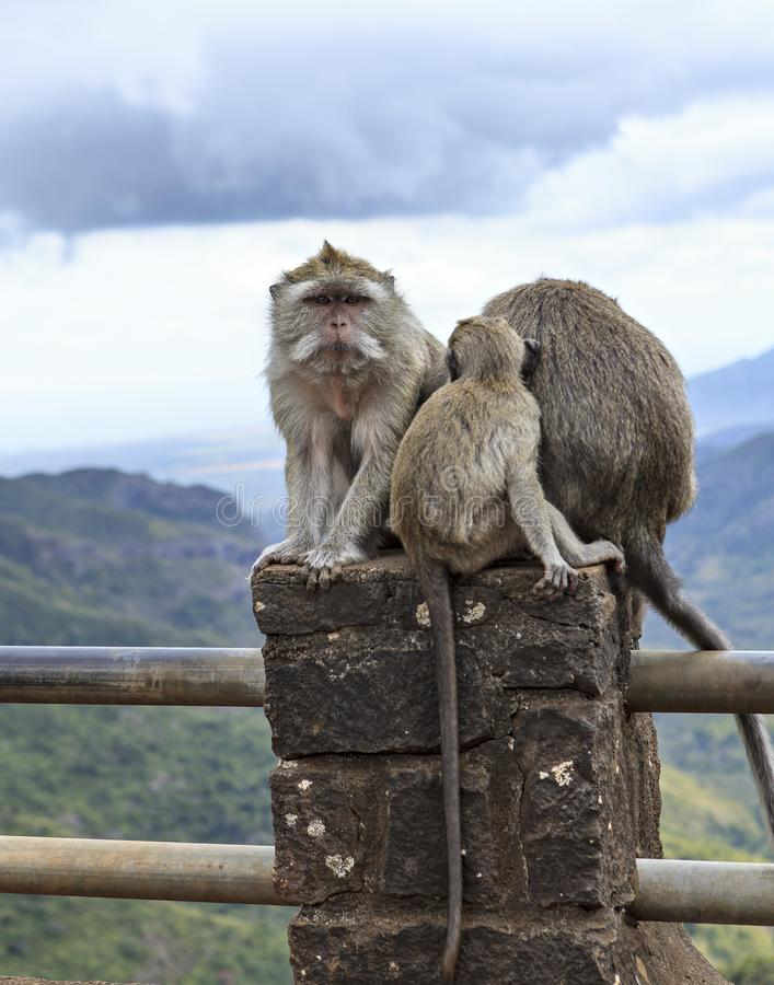 Monkeys family waiting for food stock image