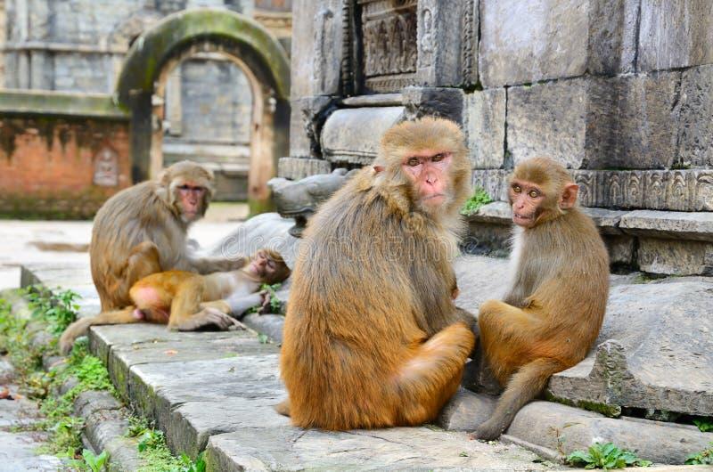 Monkeys Family Royalty Free Stock Photos
