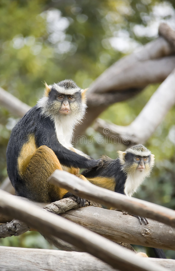 Monkeys grooming with one looking at the camera. Mother Monkey grooming Her Son in the trees stock image