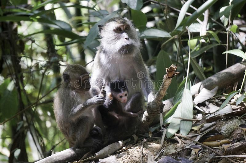 monkeys with his baby in the jungle royalty free stock photos