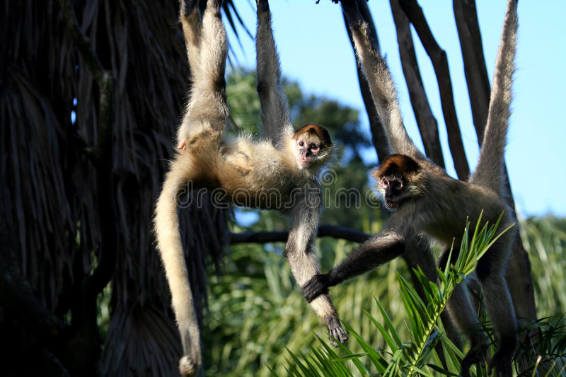 Monkeys holding each other stock images