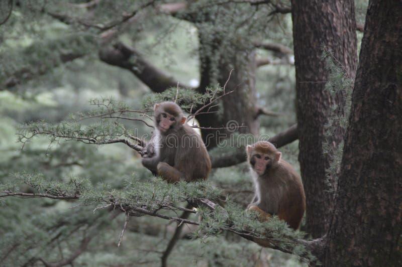 Monkeys royalty free stock photo