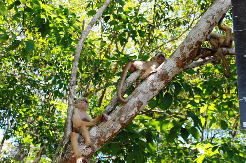 Monkeys in the jungle royalty free stock photos
