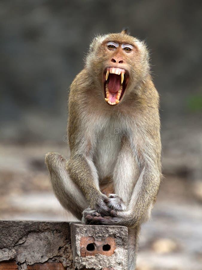 Monkeys lindo roaring fotos de archivo libres de regalías