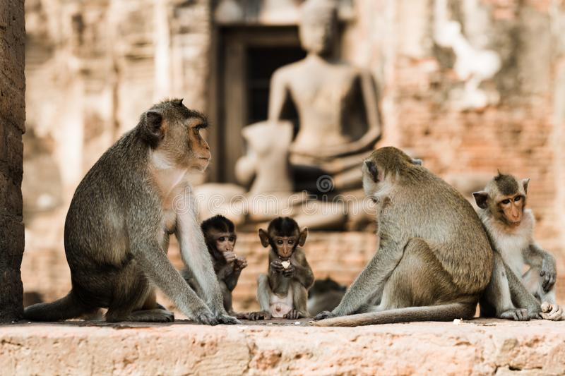 Monkeys in Lopburi, Thailand. Monkeys in the temple ruins of Lopburi, Thailand stock image