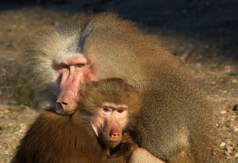 Monkeys in love stock photos
