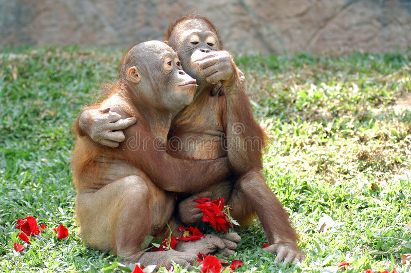 Monkeys in love. With red rose stock photos