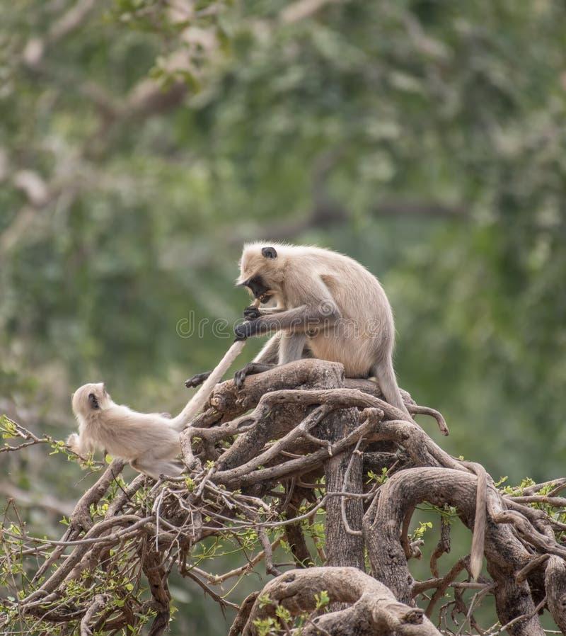 Monkeys lucha territorial fotografía de archivo