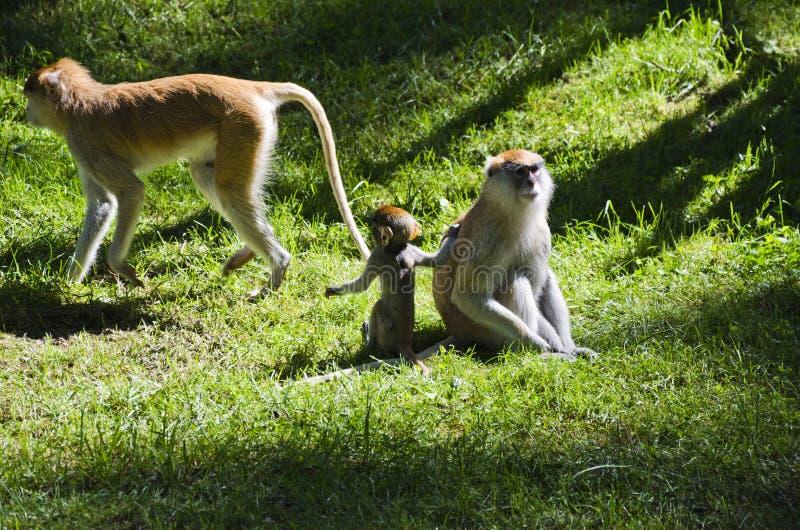 Monkeys, Olomouc Zoo royalty free stock photography