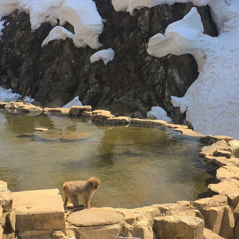 Monkeys onsen stock photos
