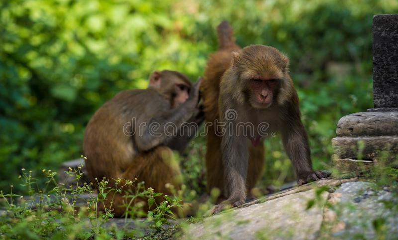 Monkeys in Pashupatinath Temple royalty free stock images