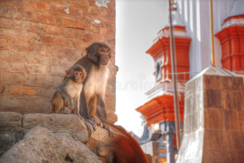 Monkeys in Pashupatinath. Temple , Kathmandu, Nepal royalty free stock photography