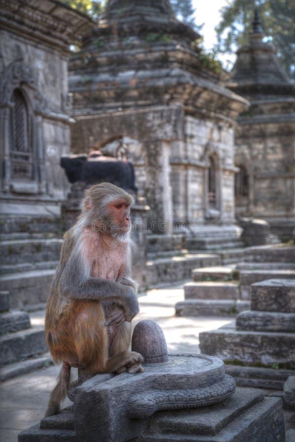 Monkeys in Pashupatinath. Temple , Kathmandu, Nepal royalty free stock images