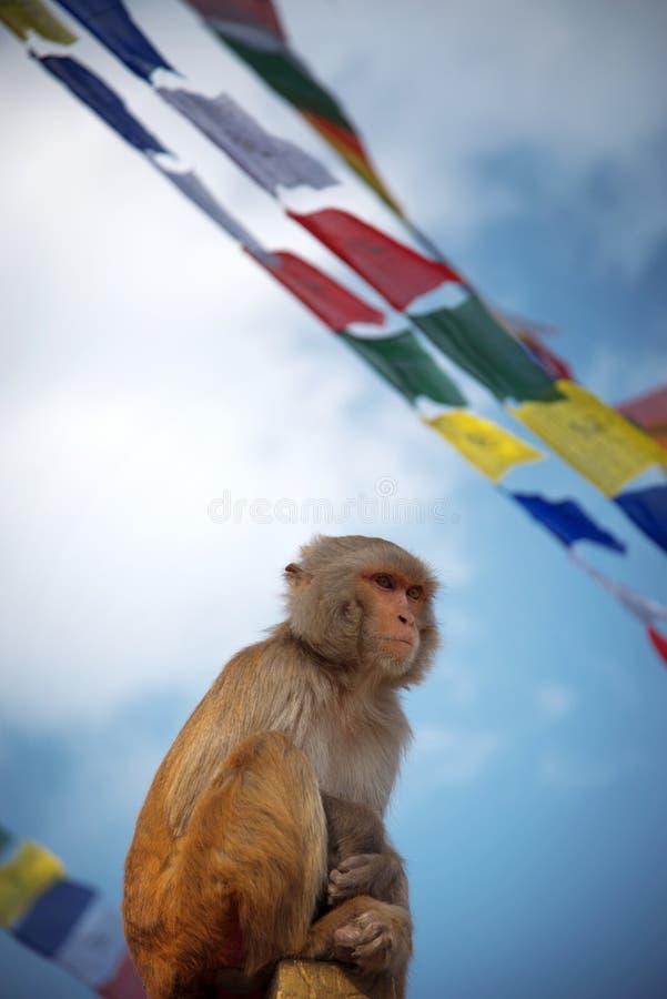 Monkeys in Pashupatinath. Temple , Kathmandu, Nepal royalty free stock photo