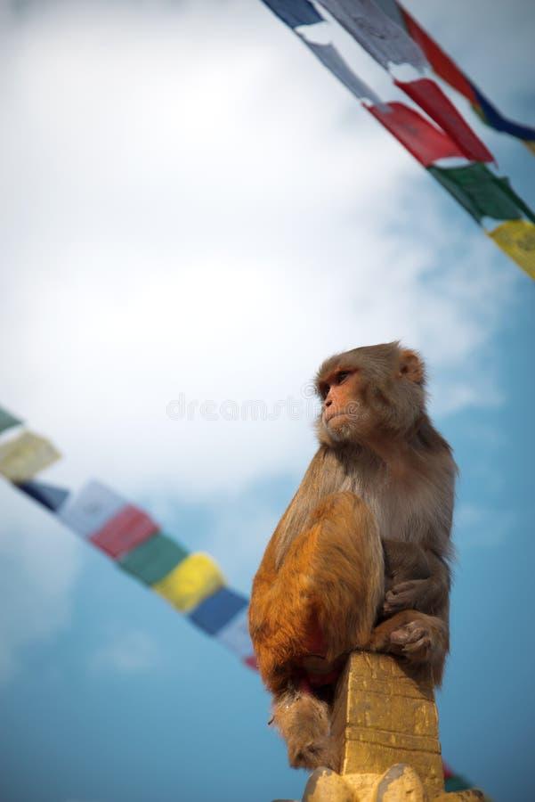 Monkeys in Pashupatinath. Temple , Kathmandu, Nepal stock photos