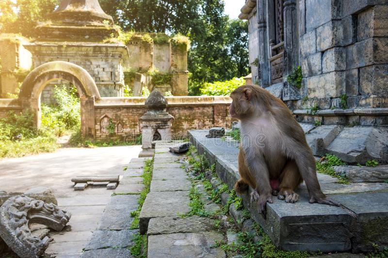 Monkeys in Pashupatinath Temple royalty free stock image