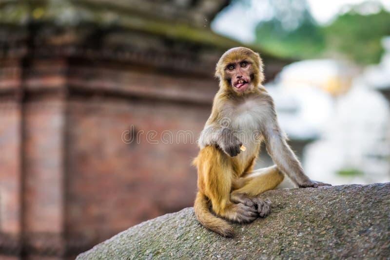 Monkeys in Pashupatinath Temple stock photo