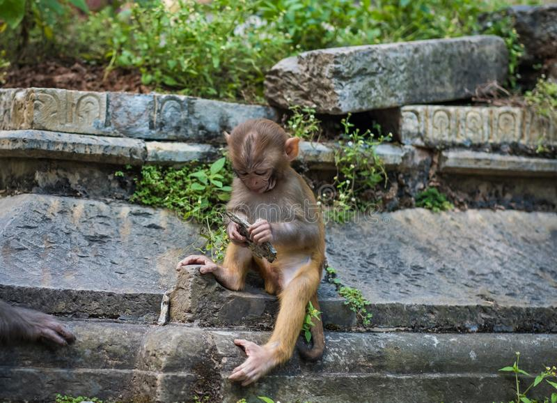 Monkeys in Pashupatinath Temple stock photography