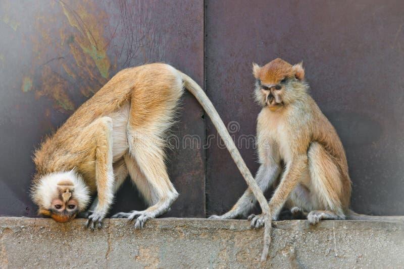 monkeys patas стоковые изображения rf