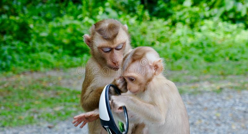 Monkeys playing with mirror royalty free stock photography