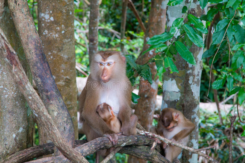 Monkeys playing on a tree branch royalty free stock images