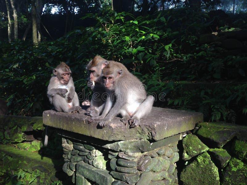 Monkeys relaxing in Ubud, Bali royalty free stock images